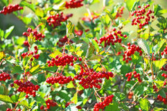 Some ripe viburnum on branch, DOF Stock Photography