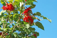 Some ripe viburnum on branch. Against the blue sky Royalty Free Stock Photos