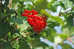 Some ripe viburnum on branch Royalty Free Stock Photography