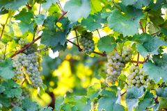 Ripe wine grapes in a vineyard. Some ripe wine grapes in a vineyard Stock Photography