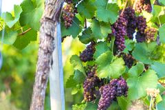 Ripe wine grapes in a vineyard. Some ripe wine grapes in a vineyard Royalty Free Stock Photography
