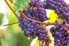 Ripe wine grapes in a vineyard. Some ripe wine grapes in a vineyard Stock Photo