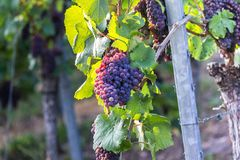 Ripe wine grapes in a vineyard. Some ripe wine grapes in a vineyard Royalty Free Stock Image