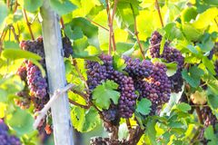 Ripe wine grapes in a vineyard. Some ripe wine grapes in a vineyard Royalty Free Stock Images
