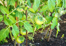 Some ripening green tomatoes in the garden. Closeup royalty free stock image