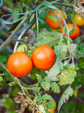 Some ripped healthy tomatoes are hanging on the shrub. In the garden Stock Photo