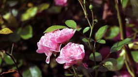 Rosaceae. Some roses in pink color Royalty Free Stock Photos