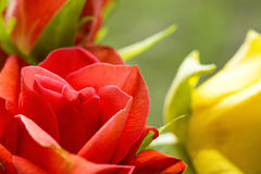 Some roses. Some red and yellow flowers Royalty Free Stock Photography
