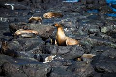 Some sea lions on the rocks of the beach on South Plaza Island. Galapagos Royalty Free Stock Images