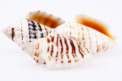 Some sea shells isilated on white background. Close up stock photography