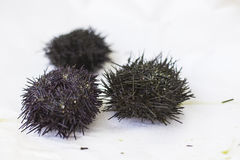 Some sea urchins with selective focus Stock Photo