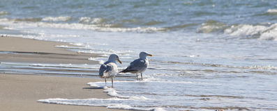 Some seagulls standing on the beach. A couple of seagulls looking out to sea from the sandy shore Royalty Free Stock Photo