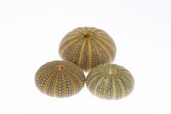 Some seashell of sea urchin isolated on white background.  Stock Images