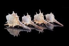 Some seashells on black background, close up . Some seashells on black background, close up royalty free stock images