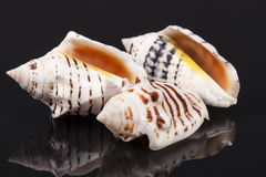 Some seashells  on black background Royalty Free Stock Images