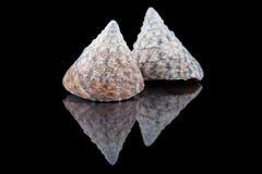 Some seashells isolated on black background, close up . Some seashells isolated on black background, close up stock photo