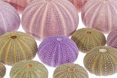 Some seashells of sea urchin on white background.  stock photography