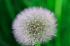 Some see a weed...some see a wish, dandelion in field. stock photos