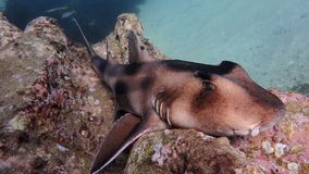 Some sharks can afford to be lazy. Crested horn shark similar in appearance to the Port Jackson. Tends to relax during the day and feeds at night. Photo taken at Royalty Free Stock Images