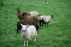 Some sheep. Some different sheep in the open countryside Royalty Free Stock Image