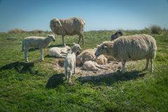 Sheep eat grass on a dike royalty free stock photo
