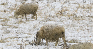 Some sheep in field in snow. Some sheep in a field in snow Stock Photography