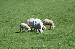 Some sheep grazing in a field. Some sheeps grazing, Piedmont - Italy Stock Image