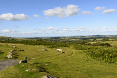 Some sheep grazing in the moor, Dartmoor. A group sheep grazing in grass field of hilly Dartmoor countryside under a blue sky Royalty Free Stock Photos