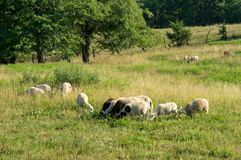 Sheep Grazing in the Pasture. Some sheep grazing in a pasture in the countryside Royalty Free Stock Images