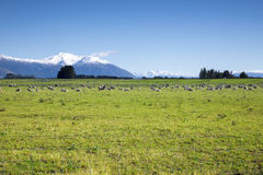 Some sheep in the green meadow Royalty Free Stock Image
