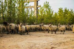 Some sheep look at the camera. Scene royalty free stock photography