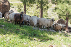 Some sheep in the shade of the trees. In the mountains stock images