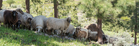 Some sheep in the shade of the trees. In the mountains royalty free stock image