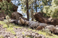 Some sheep in the shade of the trees. In the mountains Stock Image