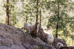 Some sheep in the shade of the trees. In the mountains Royalty Free Stock Photography