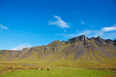 Some sheeps in the meadow. East Fjords, Iceland Stock Images