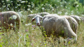 Some Sheeps on a summer meadow (selective focus). Flock of Sheeps (selective focus) on a meadow at a hot summer day stock images