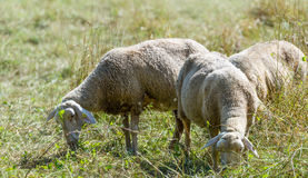 Some Sheeps on a summer meadow (selective focus). Flock of Sheeps (selective focus) on a meadow at a hot summer day stock photography