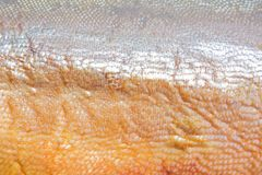 Some of skin from a fillet of salmon royalty free stock photo