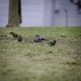 Some small bird on the graas. One of the is a bullfinch royalty free stock images