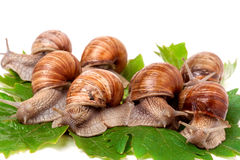 Some snails crawling on the grape leaves white background.  stock photos