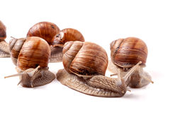 Some snails crawling on a white background closeup.  royalty free stock images