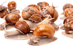 Some snails crawling on a white background closeup.  royalty free stock photos