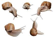 Some snails isolated. On white background Royalty Free Stock Photo