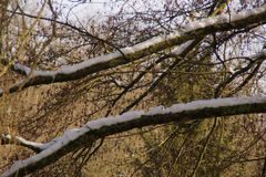 Some snow on branches. A tree with some snow on branches. There are branches without snows. Branches have no sheet leaf. Shooting in the day, in winter and stock image