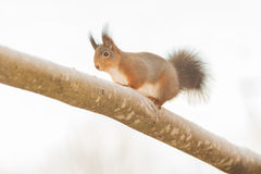 Some snow stand. Red squirrel standing on tree with snow Stock Photo