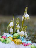 Some snowdrops chocolate eggs snow Stock Photo