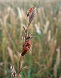 Some soldier beetles on a stalk. 3 soldier beetles sitting on a stalk, surrounded by blurry grass plants Royalty Free Stock Images