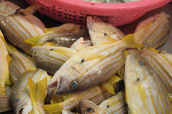 Some Spanish Flag fishes at a wet market. A photo taken on some dead Spanish Flag fishes at a wet market for sale stock images
