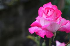 Some special rose-white rose stock photo